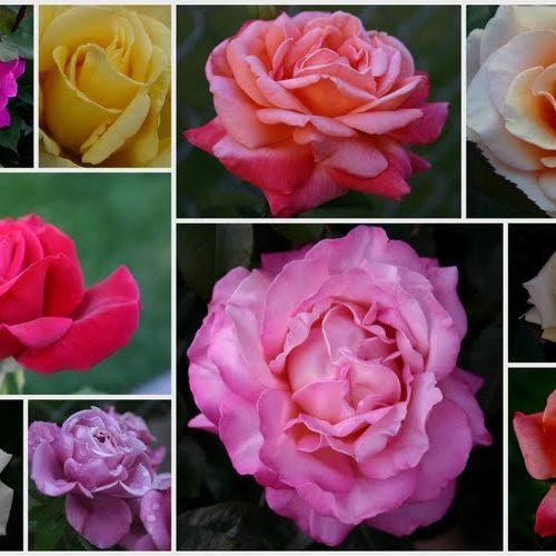 Butași Trandafiri