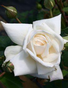 Kletterrose 'Ilse Krohn Superior' ® - Rosa 'Ilse Krohn Superior' ®