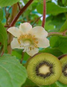vand kiwi altoit