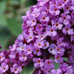 Arbore de Liliac De Vara - Floarea Fluturilor - Buddleja davidii