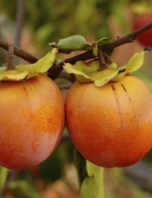 fruct kaki persimonn
