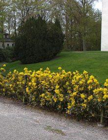 gard viu mahonia aquifolium