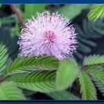 Mimosa pudica - Mimoza