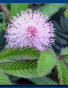 mimoza pudica reprez