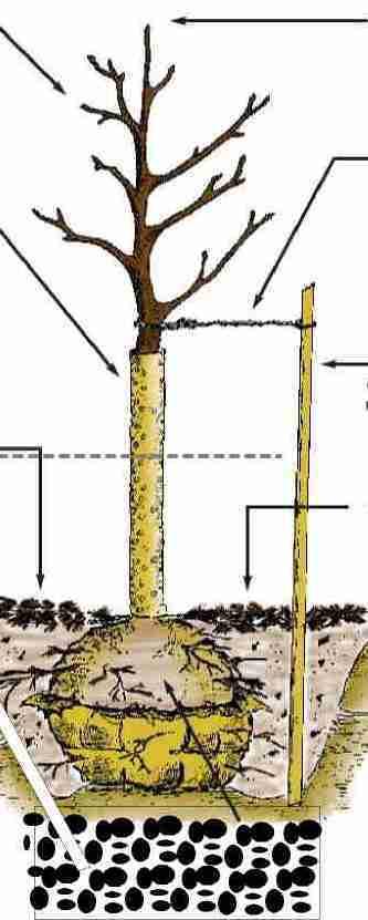 Cum plantam pomii fructiferi