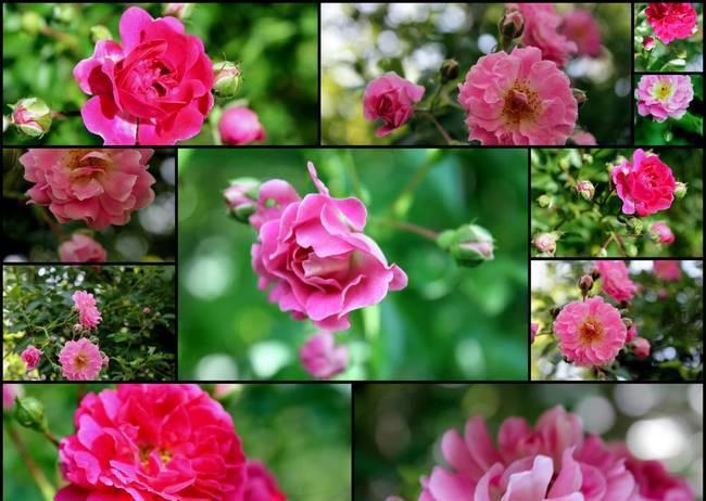 Ghid stropiri trandafiri