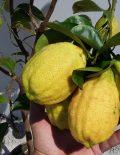 Lamai-altoit-anul-3-roditor-cu-fructe-in-el-9-600x600