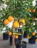 Portocal-altoit-anul-3-roditor-cu-fructe-in-el-6-600x600