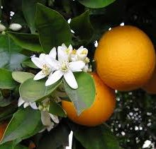 portocal anul 3