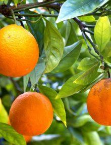 portocal anul 5