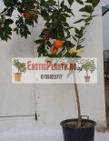 portocal-anul-5-ghiveci-30-l-6