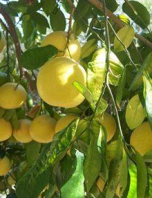 grepfrut anul 3