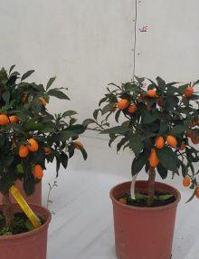 kumquat-12-l-anul-3-1-600x600