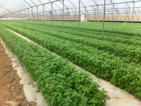 Seminte plante aromatice